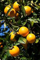 Spain, Costa Blanca, bei El Castell de Guadalest: Oranges on tree | Spanien, Costa Blanca, bei El Castell de Guadalest: Orangenbaum