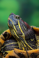RED-EARED TURTLE aka RED-EARED SLIDER aka Red-Eared Pond Slider..Widely distributed throughout North America due to pet trade specimens being released by owners. (Chrysemys scripta elegans).