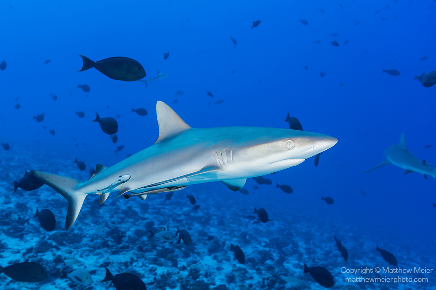 Fakarava Atoll, Tuamotu Archipelago, French Polynesia; a gray reef shark swimming with yellowmask surgeonfish in a swift current
