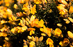 A87DJ2 Close up of yellow flowers Common Gorse Ulex europaeus