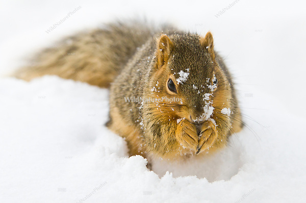 An Eastern Fox Squirrel (Sciurus niger), hunting for cached nuts in snow in the winter. Michigan