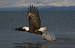 A Bald Eagle (Haliaeetus leucocephalus) snatches a meal from the sea.   Kenai Peninsula, Alaska