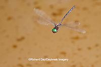 06548-00212 Mocha Emerald (Somatochlora linearis) male in flight along stream, Clay Co, IL