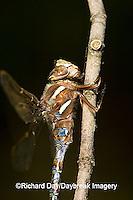 06364-002.02 Springtime Darner (Nasiaeschna pentacantha) male, Marion Co  IL