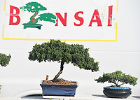 NWA Democrat-Gazette/J.T. WAMPLER  A juniper bonsai tree is on display Wednesday June 6, 2018 at the corner of Huntsville Rd. and Stone Bridge Rd in Fayetteville.