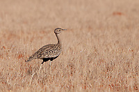 Red-crested Bustard (Lophotis ruficrista), Mokala National Park, South Africa.
