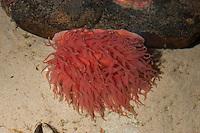 Pferdeaktinie, Pferde-Aktinie, Aktinie, Purpurrose, Actinia equina, Seeanemone, See-Anemone, beadlet anemone, sea anemone, beadlet-anemone, sea-anemone, Blumentier, Anthozoa