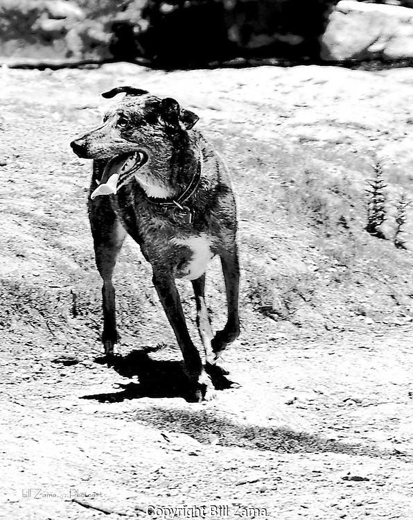 Catahoula Hound on the move<br />