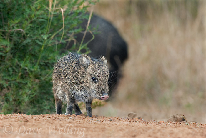 650520173 a baby javelina or collared peccary dicolytes tajacu on beto gutierrez ranch hidalgo county texas united states