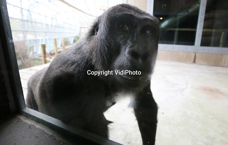 Foto: VidiPhoto..RHENEN - In Ouwehands Dierenpark in Rhenen mochten de zes mannelijke gorilla's donderdag voor het eerst hun buitenverblijf gaan verkennen. Tot nog toe hebben ze alleen nog maar het binnenverblijf gezien. Vlak voor Pasen opende Ouwehands dit nieuwste project dat, volgens eigen zeggen, met zes mannetjes uniek is in de wereld. Het duurde ruim een uur voordat de eerste gorilla zich buiten lieten zien. Een tweede volgde kort daarna, maar de andere dieren lieten het vooralsnog afweten..