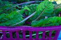 """Yarmouth Food Pantry"" harvest of chard, Maine"