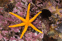 Blutstern, Blut-Seestern, Blutseestern, 6-armig, mit 6 Armen, Seestern, Henricia spec., Slender sea star, Northern Henricia, Blood star, Blood starfish, sea star, star fish, sea-star, star-fish, Seesterne, sea stars
