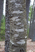 Yellow Birch - Betula alleghaniensis -  in the Sandown, New Hampshire Town Forest during the spring months.
