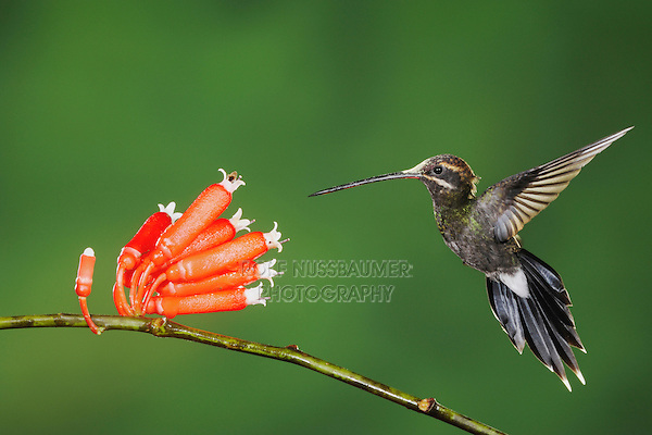 White-whiskered Hermit (Phaethornis yaruqui), adult feeding on flower,Mindo, Ecuador, Andes, South America