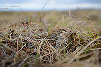 Least Sandpiper (Calidris minutilla) incubating on the nest. Yukon Delta National Wildlife Refuge. May.
