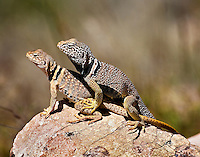 A pair of Grand Canyon Collared Lizards on the North Kaibab Trail near Phantom Ranch.