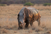 Rhino Bull grazing, its side lit by a the golden light of the setting sun.