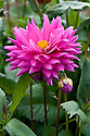 Dahlia Seedling Abacus 07/01, early September.