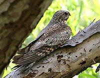 Adult male lesser nighthawk roosting at Paradise Pond, Port Aransas, TX