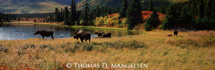 A bull moose watches over his harem in Denali National Park, Alaska.