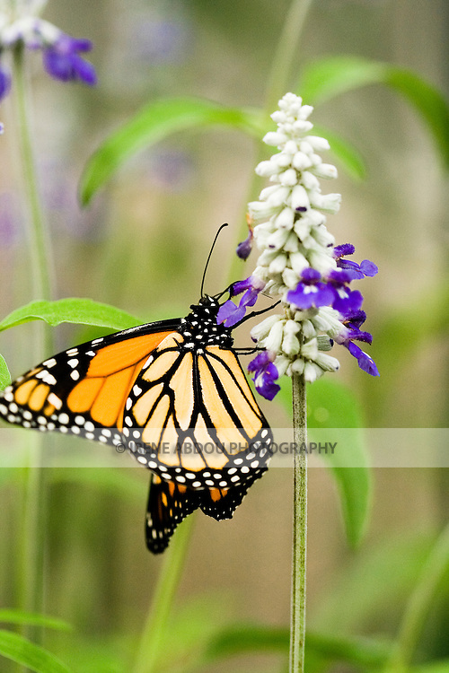 """A Monarch butterfly clings to a flower.  Each year, the award-winning Brookside Gardens in Silver Spring, Maryland hosts a """"Wings of Fancy"""" butterfly exhibit in its Conservatory."""