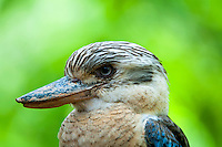The Blue-winged Kookaburra, (Dacelo leachii), is a very large species of kingfisher with a total length of around 40 cm. Compared to the related Laughing Kookaburra, it is smaller, lacks a dark mask, has more blue in the wing, and (usually) a light-coloured eye. It is sexually dimorphic, with a blue tail in the male, and a rufous tail with blackish bars in the female.
