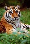Siberian tiger (captive)