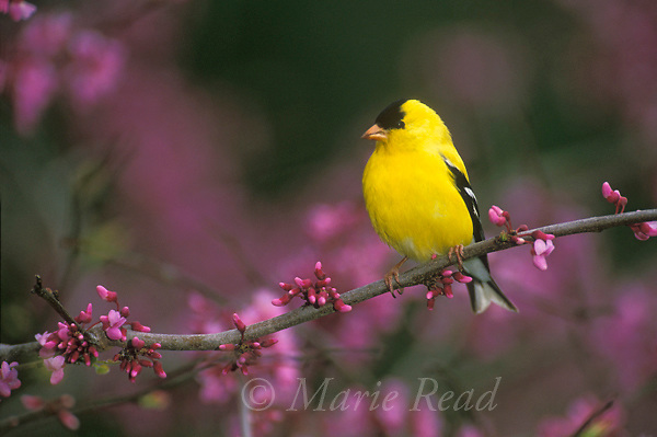 American Goldfinch (Carduelis tristis) male perched in flowering eastern redbud, New York, USA <br /> Slide # B167-519