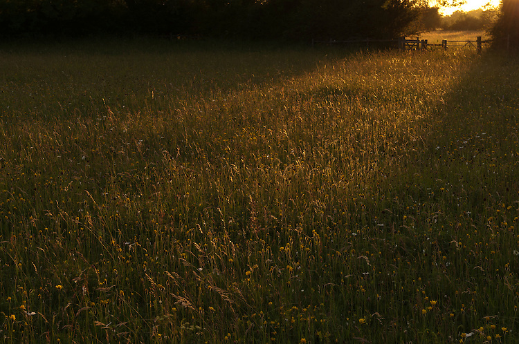 Sunset in species rich traditional hay meadow. Clattinger Farm, Wiltshire. UK. . This habitat has been reduced by 98% in the UK since the Second World War. This is largely due to the intensification of farming practices.