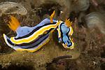 Anna's Chromodoris, Chromodoris annae, Indonesia, Lembeh, Lembeh Straits, nudibranch behavior, Underwater macro marine life images, underwater marine life. Nudibranchs trailing