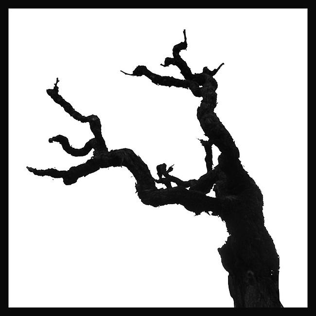 Syrah grape vine in St. Helena, CA