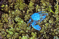 Blue porcelain crab on kelp in Seal Rock tidepool, Oregon