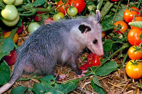 Opossum eating tomato in garden, summer midwest