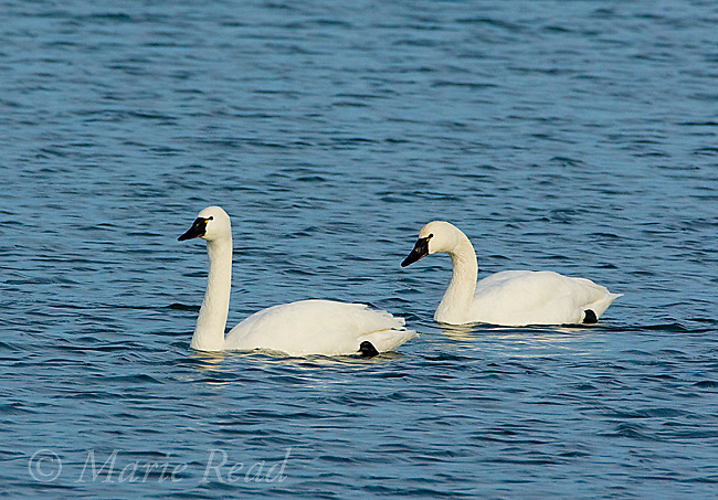 Tundra Swans (Cygnus columbianus), two swimming in winter, Amherst Island, Ontario, Canada