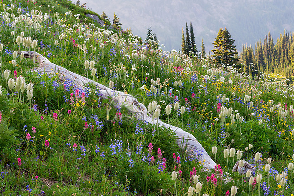 Wildflowers--lupine, arnica, paintbrush, valerian and anemone or western pasqueflower--surrounding old fallen tree near Pacific Crest Trail just a few hundred yards east of Mount Rainier National Park in Snoqualmie National Forest and its William O. Douglas Wilderness area, WA.  Summer evening.