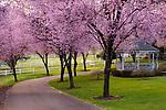 Cherry Blossoms Springtime