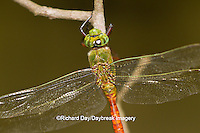 06362-00115 Comet Darner dragonfly (Anax longipes) in wetland, Effingham Co., IL