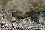 Adult Bonelli´s Eagle with  approximately 75 day old juvenile standing in nest. Andalucia, Spain.