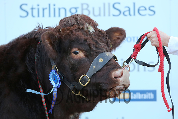 Stirling Bull Sales 2013.Picture Tim Scrivener date taken 5th February 2013.mobile 07850 303986 e-mail tim@agriphoto.com.....covering agriculture in the Uk....