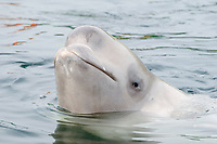 Beluga Whale or White Whale (Delphinapterus leucas), Sea of Japan, Primorsky Krai, Russia, Europe