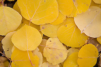 Aspen leaves closeup.<br /> <br /> Canon EOS 5D, 24-105L lens