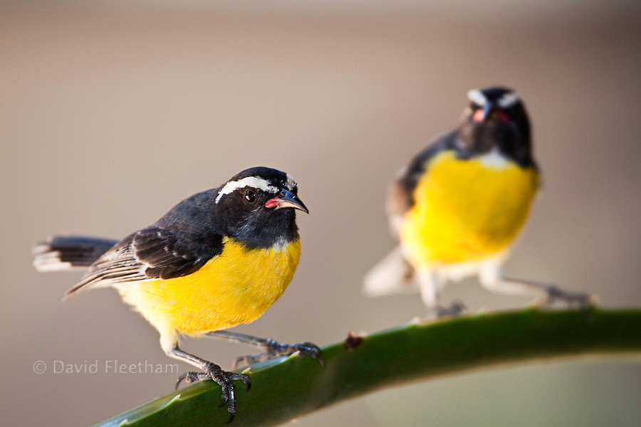 The Bananaquit, Coereba flaveola,  is a very small bird attaining an average length of 11 cm. It has a slender, curved bill, adapted to taking nectar from flowers. The pair pictured are on an aloe plant in the island of Curacao, Netherlands Antilles, Caribbean.