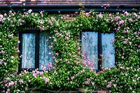 Rose covered windows, England