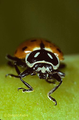 1C01-025z  Convergent Ladybug, face, Hippodamia convergens