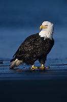 Bald Eagle, Haliaeetus leucocephalus,adult on beach, Homer, Alaska, USA