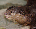 Small Clawed Otter-Aonyx cinerea
