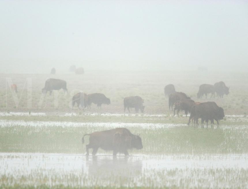 Bison travel through foggy wetlands in Hayden Valley, Yellowstone National Park, WY