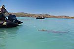 Saltwater Crocodile swimming in the Hunter River, The Kimberley, Western Australia