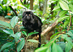 The Goeldi's monkey has become a rare species due to habitat loss and capture for the pet trade, native to the upper Amazon basin, South America.