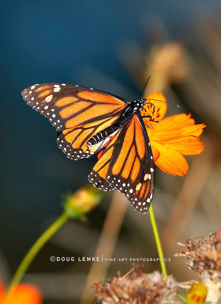 A Monarch Butterfly On An Orange Flower, Danaus plexippus